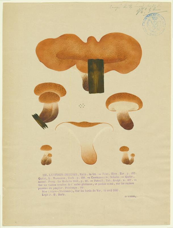 Neolentinus schaefferi  (?) ; champignon_0
