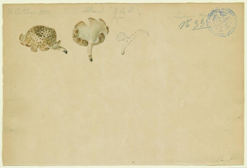 Lentin tigré ; champignon