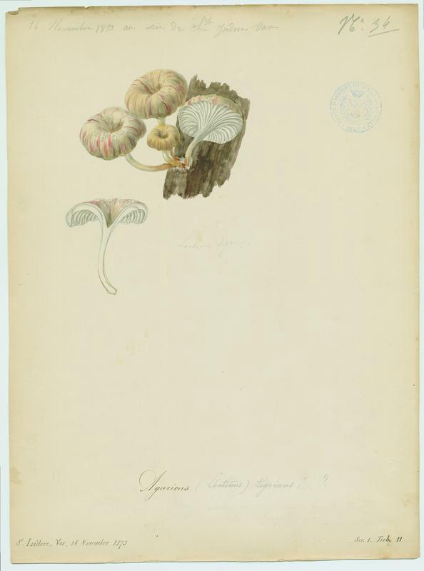 Lentin tigré ; champignon_0