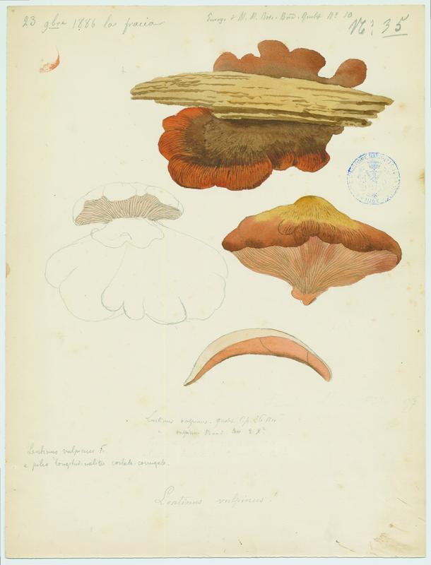 Lentin vulpinus ; champignon_0