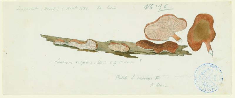 BARLA Jean-Baptiste (attribué à) : Lentin vulpinus, champignon