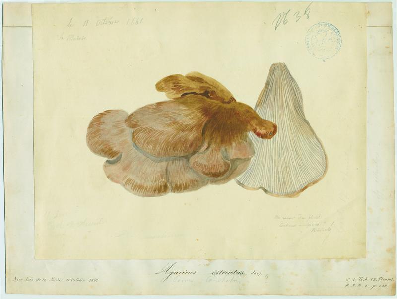 Pleurote en huître ; champignon