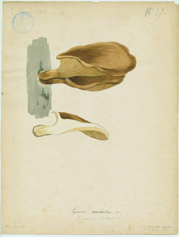 Lentin coquillage ; champignon_0