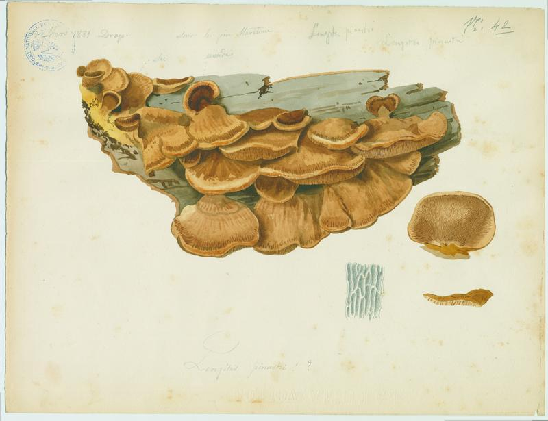 BARLA Jean-Baptiste (attribué à) : Lenzite, champignon