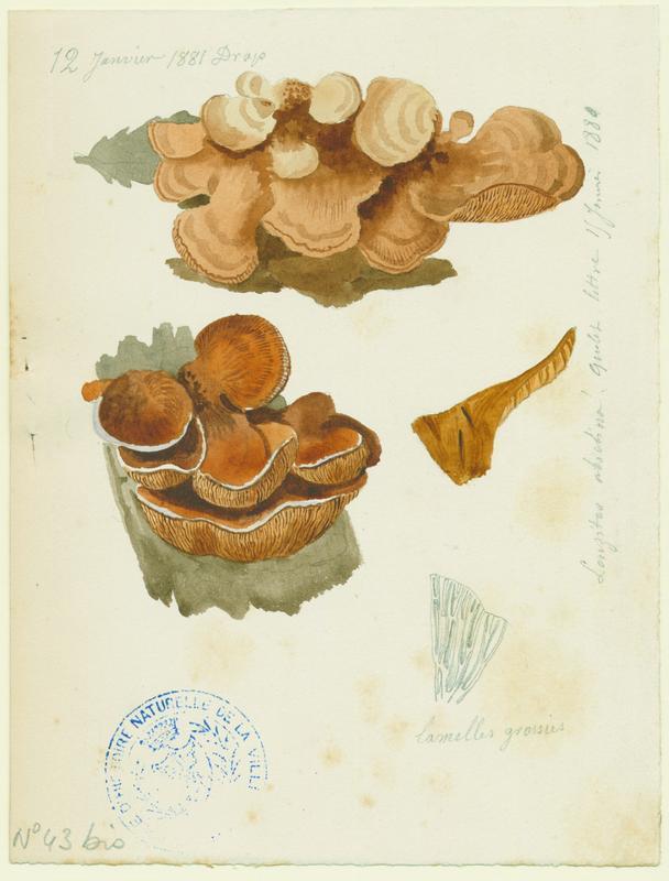 BARLA Jean-Baptiste (attribué à) : Lenzite du sapin, champignon