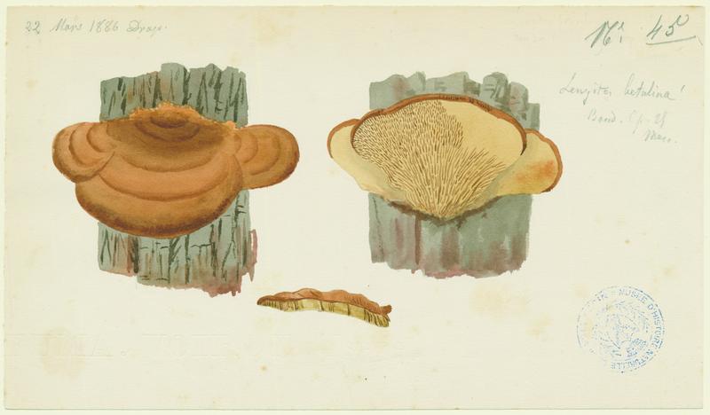 BARLA Jean-Baptiste (attribué à) : Lenzite du bouleau, champignon