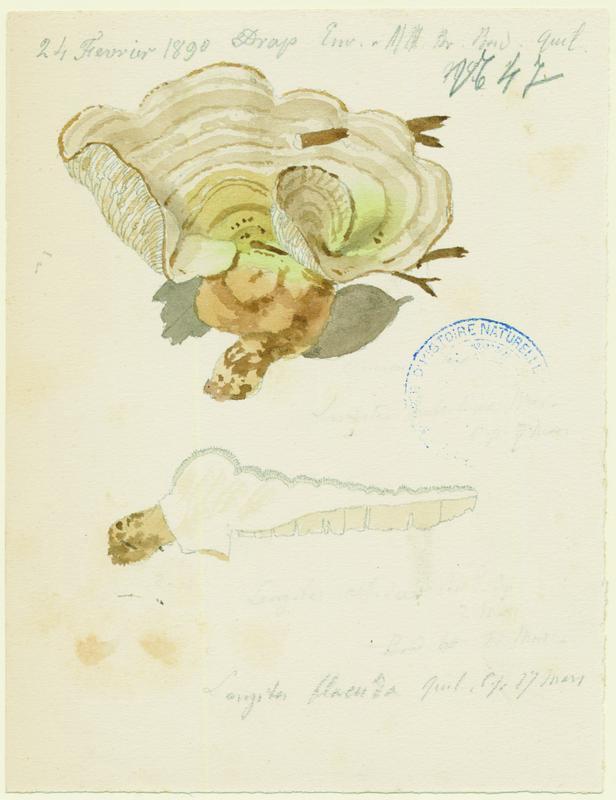 Lenzite du bouleau ; champignon