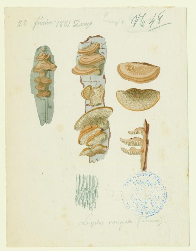 Lenzite ; champignon