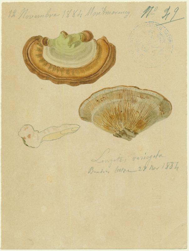 Lenzite ; champignon_0