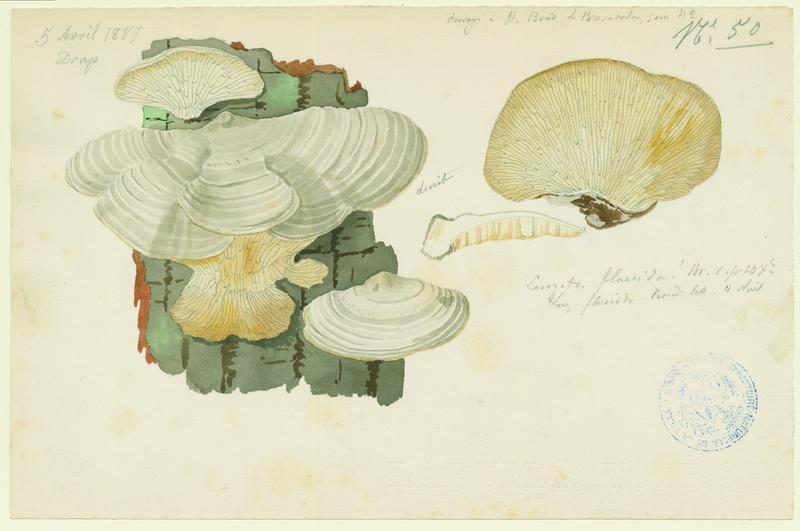 Lenzite du bouleau ; Lenzitz ; champignon_0