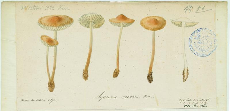 BARLA Jean-Baptiste (attribué à) : Marasme des Oréades, Faux mousseron, champignon