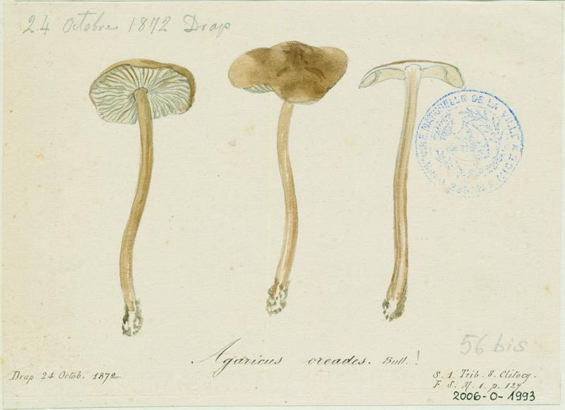 Marasme des Oréades ; Faux mousseron ; champignon_0
