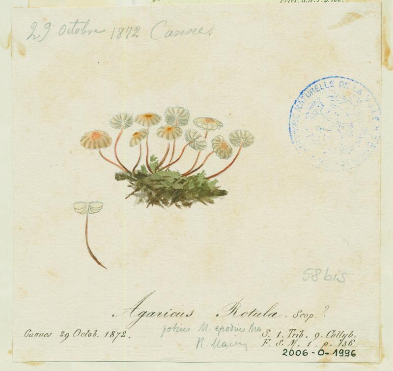 BARLA Jean-Baptiste (attribué à) : Marasme petite roue, champignon