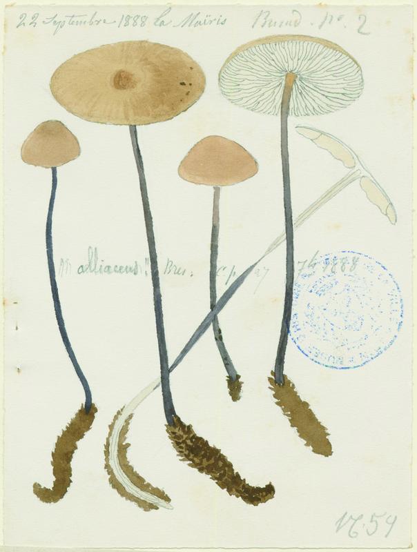 BARLA Jean-Baptiste (attribué à) : Marasme à odeur d'ail, champignon