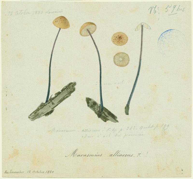 Marasme à odeur d'ail ; champignon_0