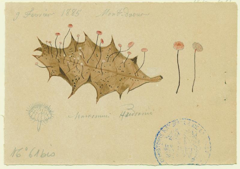 Marasme de Hudson ; champignon_0