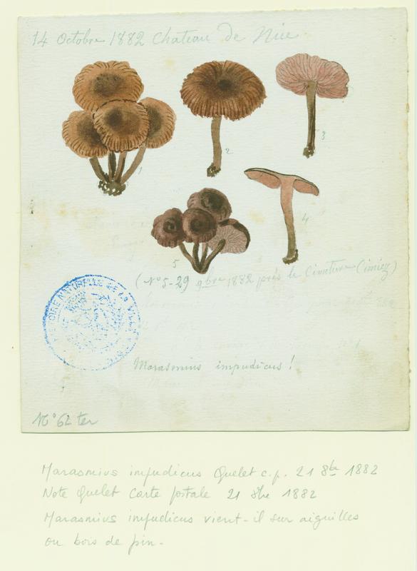 Marasme impudique (?) ; champignon_0