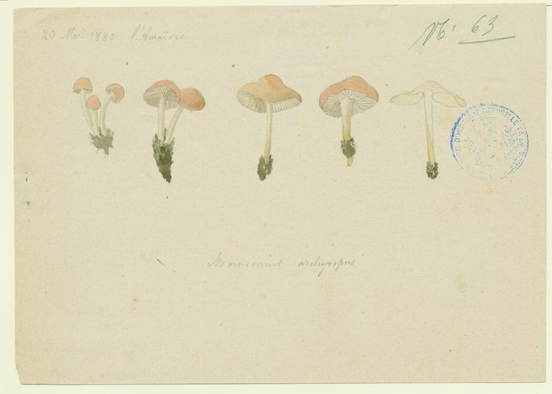 Marasme ; champignon_0