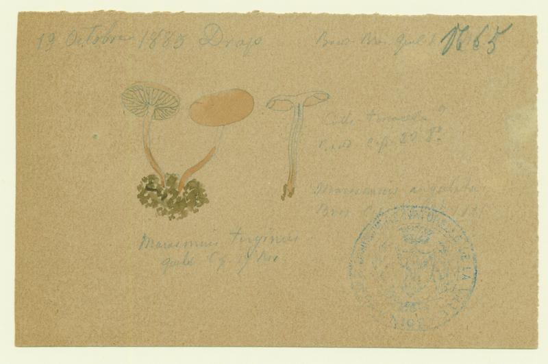 Marasme ; champignon