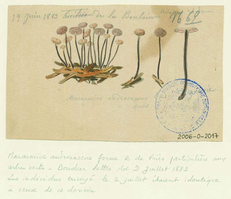 Marasme androsace ; champignon_0