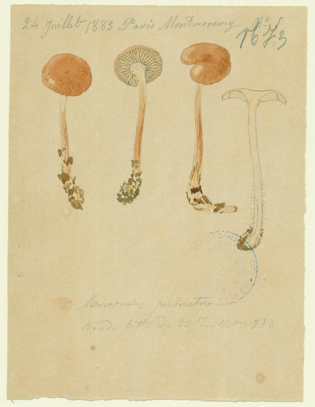 Collybie guêtrée ; Marasme brûlant ; champignon