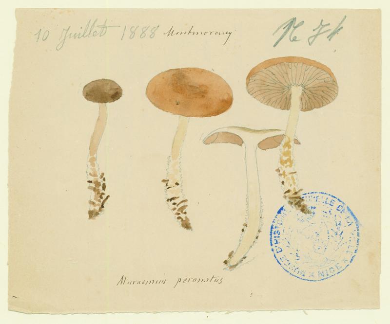 Collybie guêtrée ; Marasme brûlant ; champignon_0