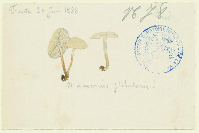 Marasme globuleux ; champignon_0