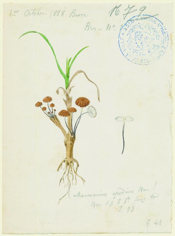 BARLA Jean-Baptiste (attribué à) : Marasme anormal, champignon