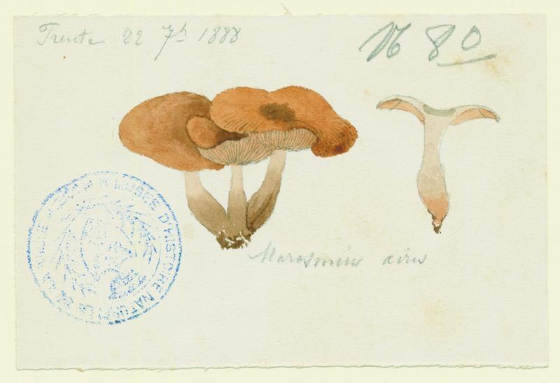 BARLA Jean-Baptiste (attribué à) : Marasme, champignon
