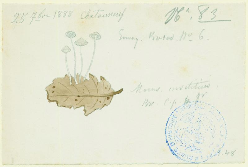 BARLA Jean-Baptiste (attribué à) : Marasmius insititius, champignon