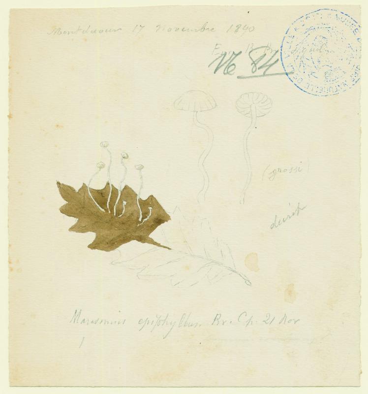 BARLA Jean-Baptiste (attribué à) : Marasme des feuilles, champignon