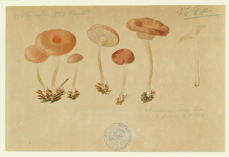 Marasme du buis ; champignon