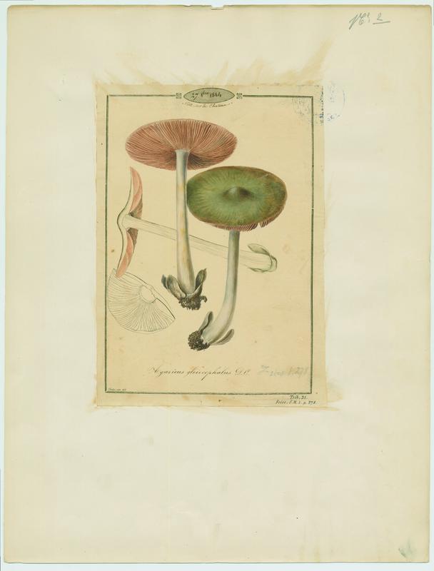 Volvaire visqueuse ; champignon_0