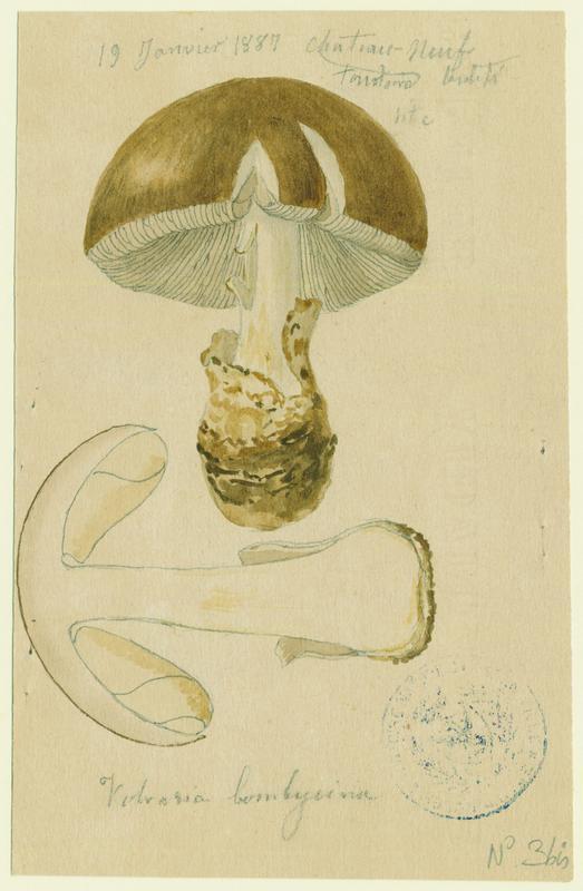 Volvaire ; champignon_0