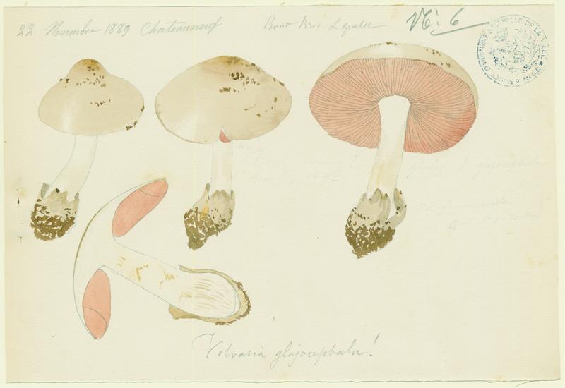 Volvaire ; champignon