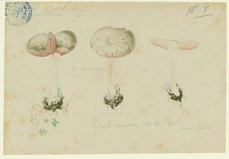 Volvaire gris souris ; champignon_0