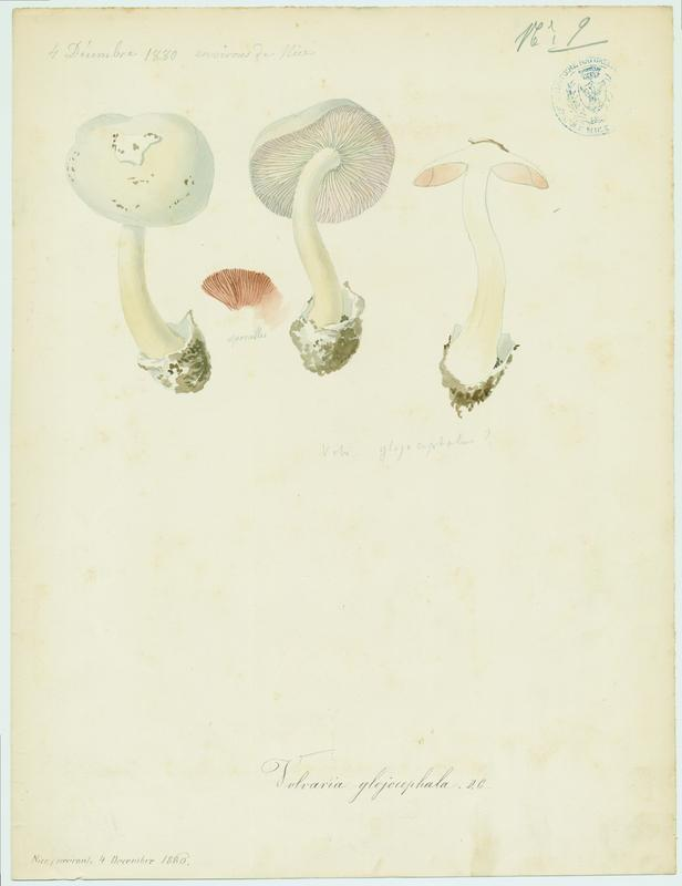 BARLA Jean-Baptiste (attribué à) : Volvaire, champignon