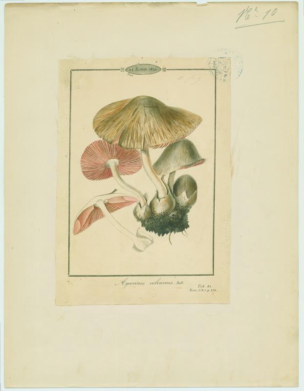 Volvaire cultivée ; champignon