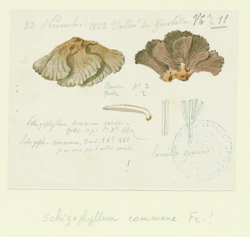 Schizophylle commun ; champignon_0