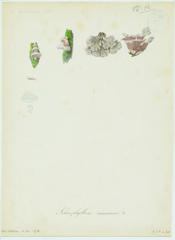 BARLA Jean-Baptiste (attribué à) : Schizophylle commun, champignon