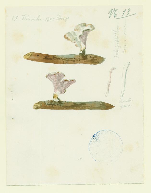 Schizophylle commun ; champignon
