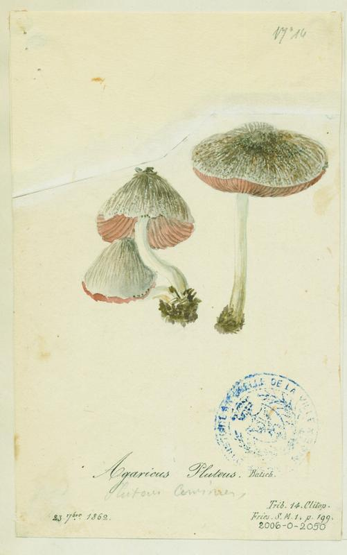 BARLA Jean-Baptiste (attribué à) : Plutée couleur de cerf, champignon
