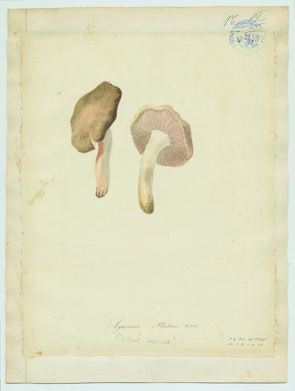 Plutée couleur de cerf ; champignon_0