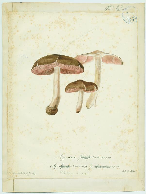 Entolome en bouclier ; Mousseron noir ; champignon