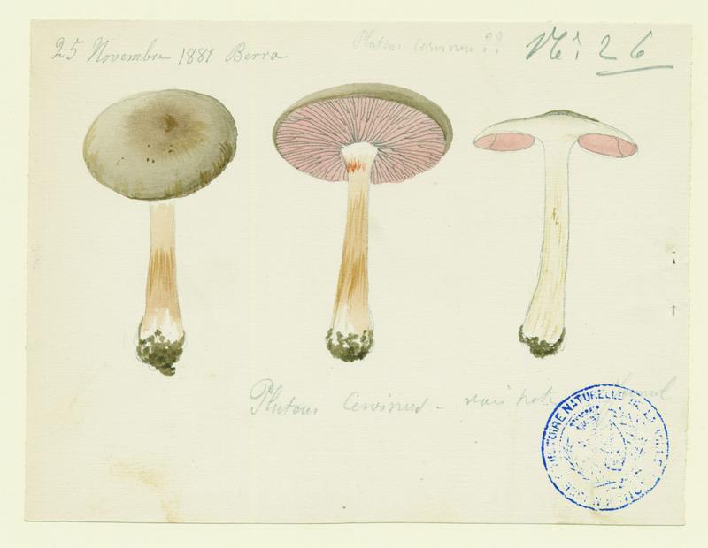Plutée couleur de cerf ; champignon