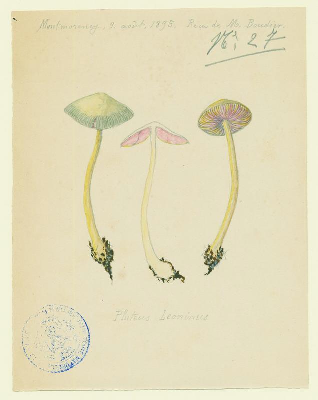 BARLA Jean-Baptiste (attribué à) : Plutée couleur de lion, Plutée jaune de lion, champignon