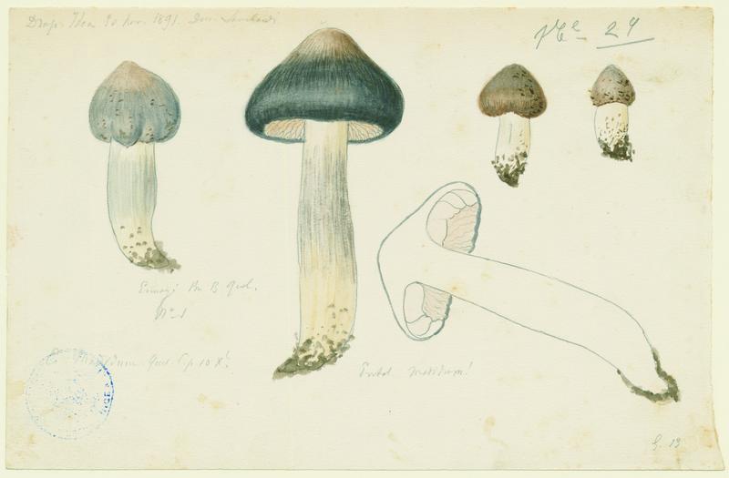 Entolome de Bloxam ; champignon_0