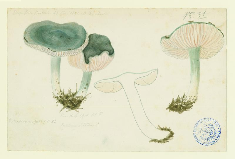 LOMBARDI Charles : Entolome de Bloxam, champignon