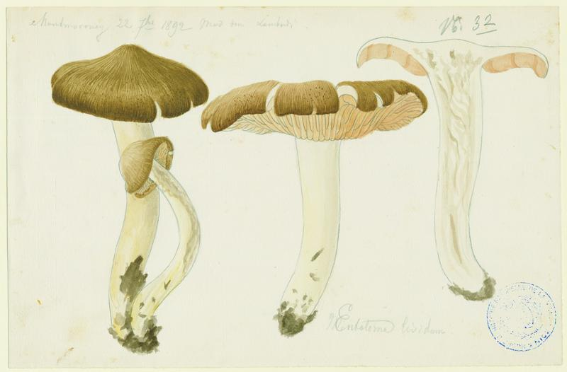Entolome livide ; champignon