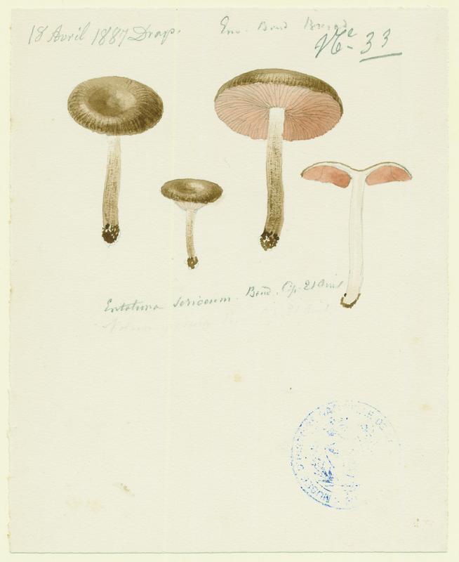 BARLA Jean-Baptiste (attribué à) : Entolome soyeux, champignon